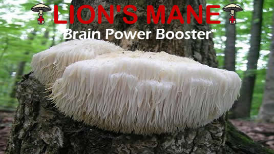 Lions Mane Is The Brain Power Booster Medicinal Mushroom From MediMushrooms