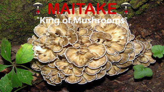 Maitake Is The King Of Medicinal Mushrooms From MediMushrooms
