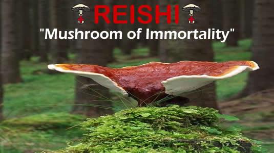Reishi Is The Medicinal Mushroom Of Immortaility From MediMushrooms