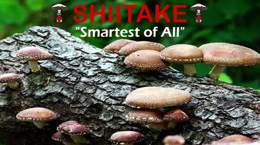 Shiitake Is The Smartest Of All Medicinal Mushrooms From MediMushrooms