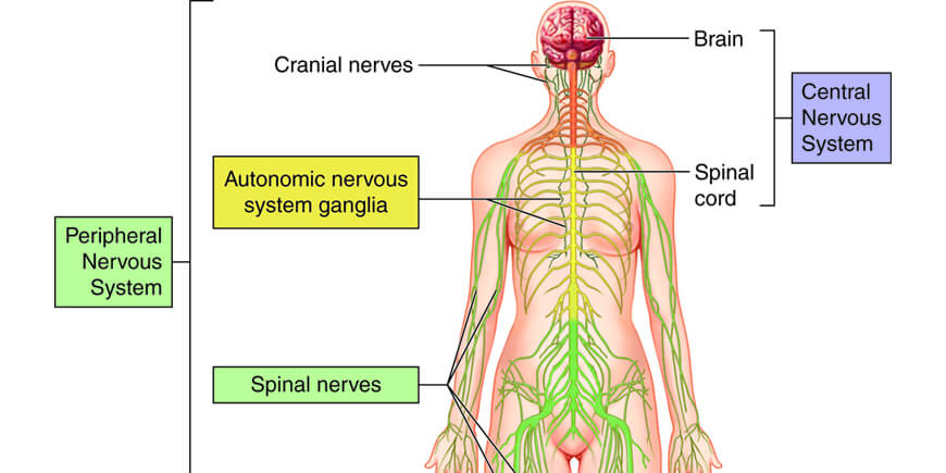Neurological Disorders and Medicinal Mushrooms